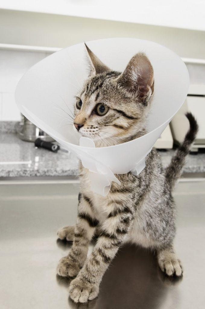 Gato con collar isabelino por negligencia del veterinario