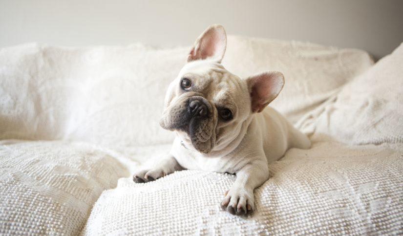 perro sobre sofá