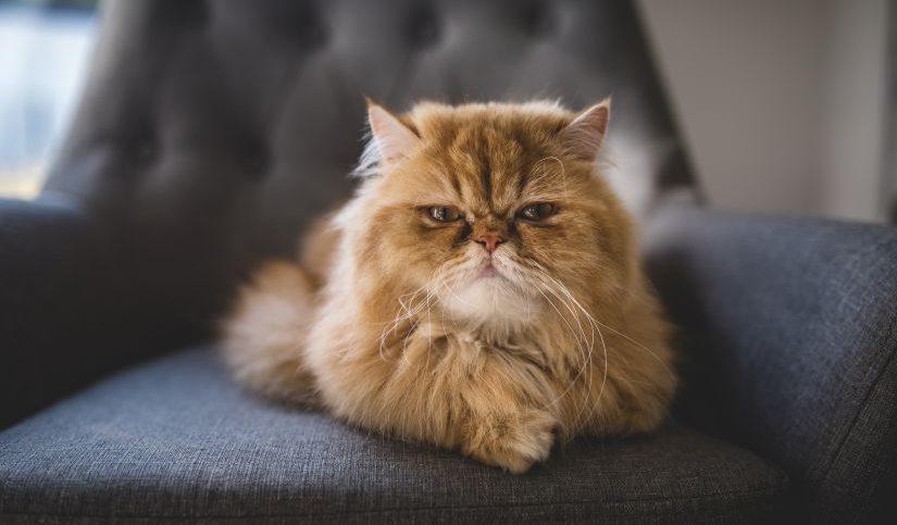 gato sobre sillon