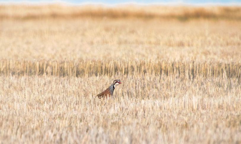 caza con codorniz sembrada