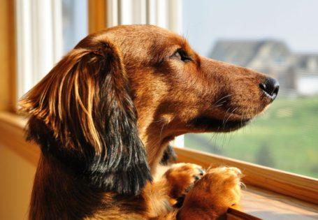 Perro salchicha mirando por la ventana